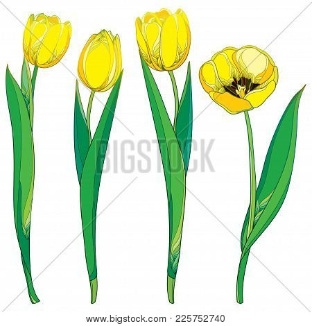 Vector Set With Outline Yellow Tulip Flowers And Ornate Green Leaves Isolated On White Background. O