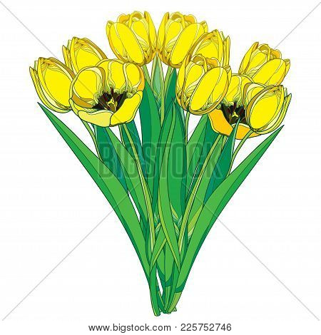Vector Bouquet With Outline Yellow Tulip Flower, Bud And Ornate Green Foliage Isolated On White Back