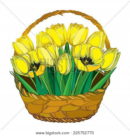 Vector Bouquet With Outline Yellow Tulip Flowers, Bud And Ornate Green Leaves In The Wicker Basket I