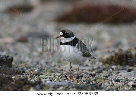 Adult Semipalmated Plover, Charadrius Semipalmatus, Standing On Rocky Arctic Tundra With Plants