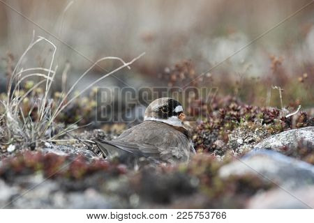 Adult Semipalmated Plover, Charadrius Semipalmatus, Nesting On The Ground, Near Arviat Nunavut Canad