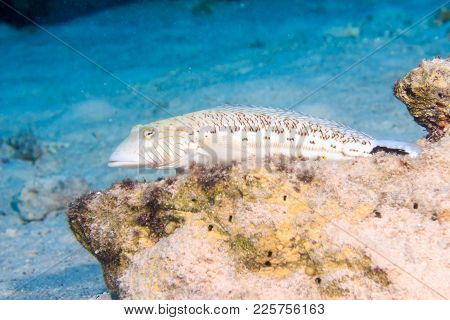 Speckled Sandperch. Fishes Of The Red Sea.
