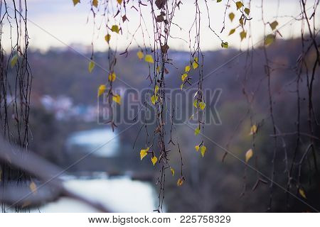 Autumn Leaves On Hanging Branches Of A Tree