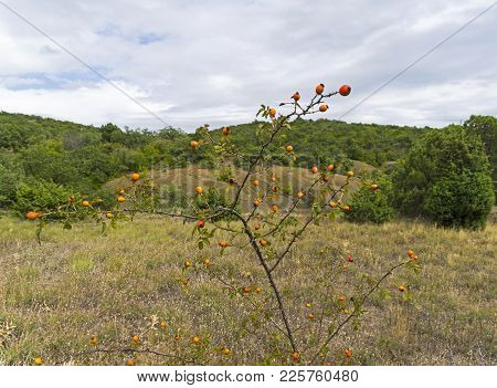 Wild Hips With Ripe Berries In The Crimean Mountains.