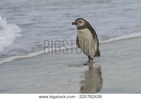 Young Magellanic Penguin (spheniscus Magellanicus) Approaches The Sea On Bleaker Island In The Falkl