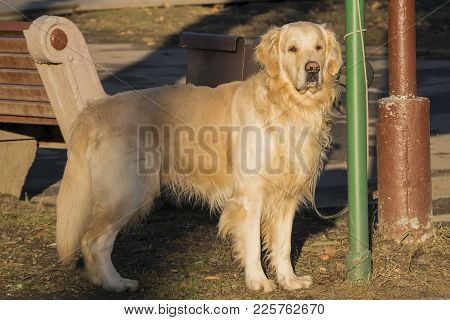 Golden Retriever Walking In Park. Beautiful Dog One Outdoors. Full Length Portrait Of Adult Domestic