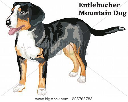 Portrait Of Standing In Profile Entlebucher Mountain Dog, Vector Colorful Illustration Isolated On W