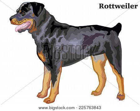 Portrait Of Standing In Profile Rottweiler, Vector Colorful Illustration Isolated On White Backgroun
