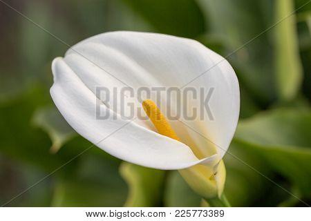 Calla Lily (arum-lily) Inflorescence And Spathe. Santa Clara County, California, Usa.