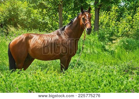 Chestnut Horse Standing In The Green Grass