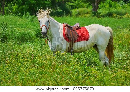 Saddled White Horse In The Green Grass