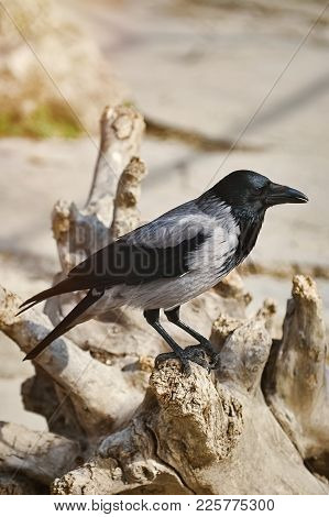 Image Of Crow Perched On The Snag