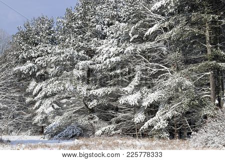 A Fresh Blanket Of Snow On The Hemlock Tree Branches.