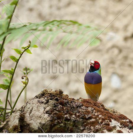 Australin Gouldian Finch