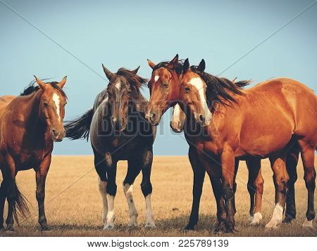 Horses In The Steppe. A Small Herd Of Horses In A Field