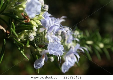 Rosemary Plant Close Up With Blue Flowers High Quality