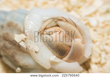 Hermit Crab Crawling On The Beach Macro Viewmaldives