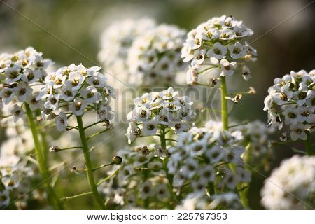 Lobularia.very Small White Flowers Are Collected In Inflorescences On Not High Green Runaways.