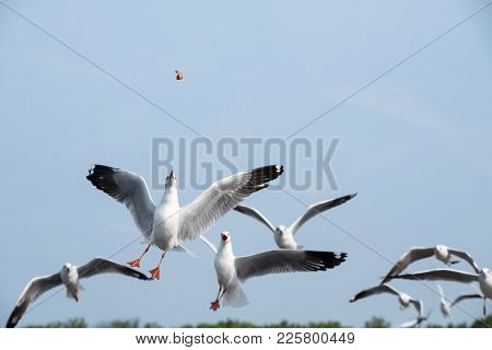 Closeup Image Of A Flock Of Seagulls Flying And Eating Food In The Blue Sky