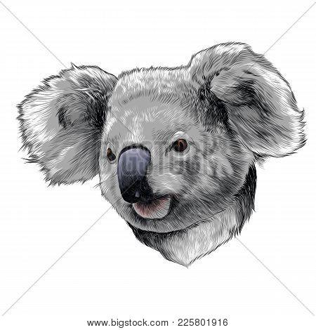 Koala head colored drawing sketch vector graphics