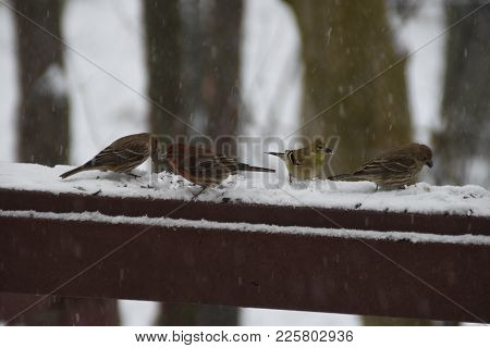 Animals Birds Flock Of House Finches And A Golden Finch Perched On A Back Deck, Porch, In Winter Dur