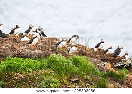Atlantic Puffin Rookery, Newfoundland, Canada. Bright Background