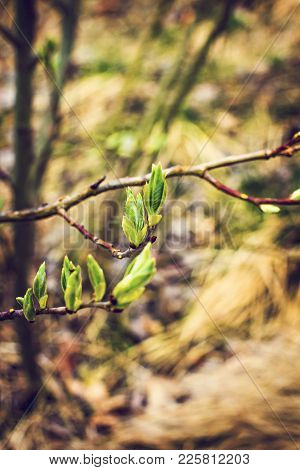 Kidneys Blossom. Spring Has Come, The First Green. Nature Wakes Up. Dissolve The First Leaves On The