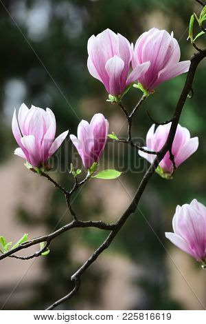 Magnolia Flowers Blossoming On Blurred Background. Blossom, Bloom, Flowering. Nature, Beauty, Enviro