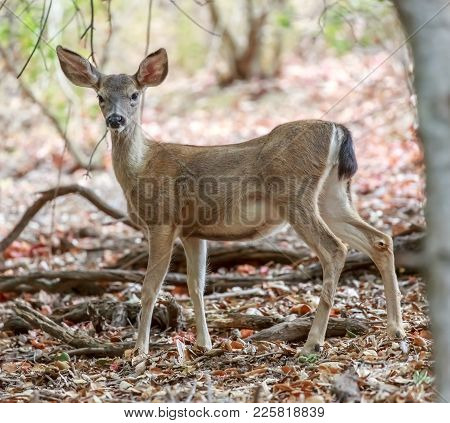 Black-tailed Deer In Alert. Ed Levin County Park, Santa Clara County, California, Usa.