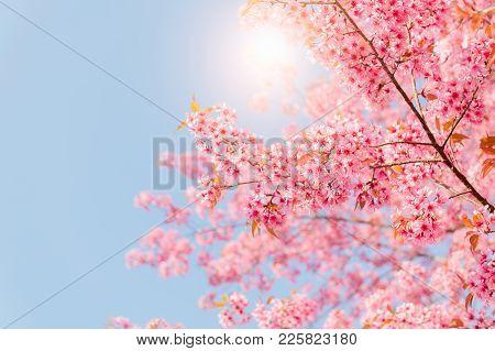 Beautiful Wild Himalayan Cherry Blossom
