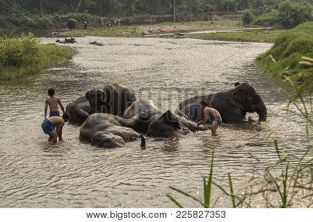 Chiang Mai, Thailand- April 4, 2017:thai Elephants Taken A Bath By Mahout At River.