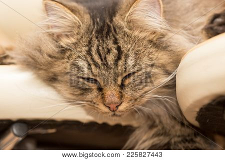 Furry Maine Coon Cat Sleeps In The House .