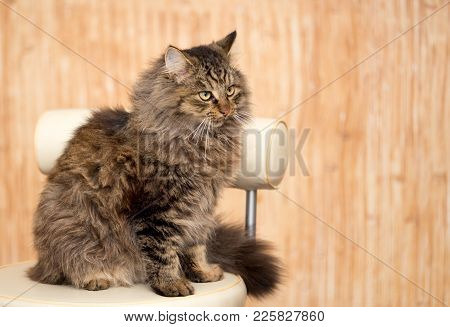 Portrait Of A Furry Cat Maine Coon .