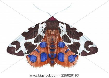 Watercolor Drawing Of An Insect Night Butterfly, Moth, Dipper Reddish-brown, Beautiful Wings, Furry,