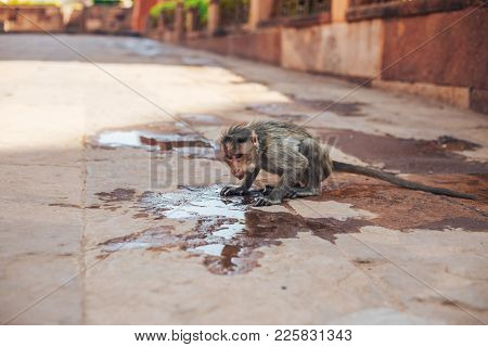 Monkey Drinking Water In The Puddles On The Road