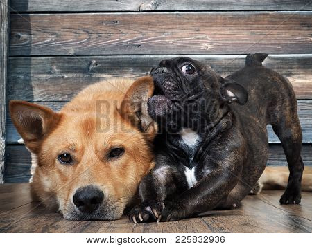 Funny French Bulldog Puppy Chewing On The Ear Of A Huge Red Dog. Friendship Of Different Pets
