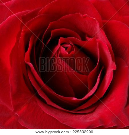 The Shades Of Red On A Rose