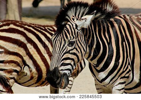 Portrait Of Zebra In Sunny Color Photography