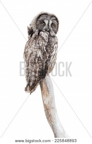 Owl (strix Uralensis)  Isolated On A White Background