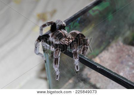 Tarantula walks in the terrarium. Large Spider poster