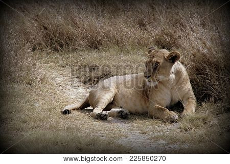 Lioness In The Wild Sabana Of Africa
