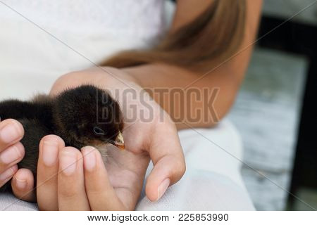 Little Girl Holds A Partridge Cochin Chick That Is Just Days Old.