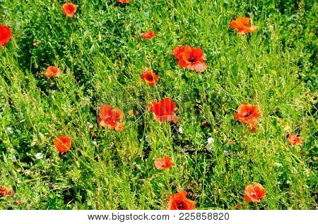 Scarlet Poppies Against The Background Of Green Grass. Focus On The Flower. Shallow Depth Of Field.