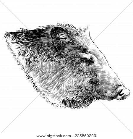 Boar Head Sketch Vector Graphics Color Picture