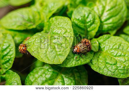 Three Colorado Beetles On Potato Leaves At The Time Of Mating
