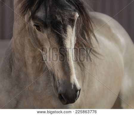 Portrait of buckskin Andalusian horse. Front view.
