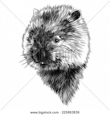 Wombat Head Sketch Vector Graphics Color Picture