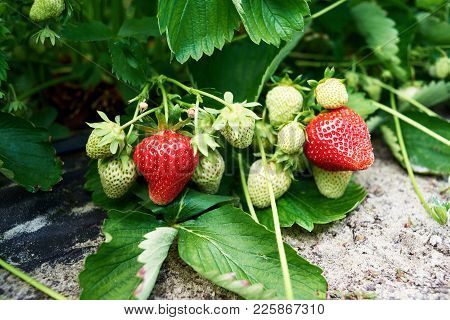 Closeup Of Fresh Organic Strawberry On Bush With Green Leaves Growing In The Garden, Copy Space. Org