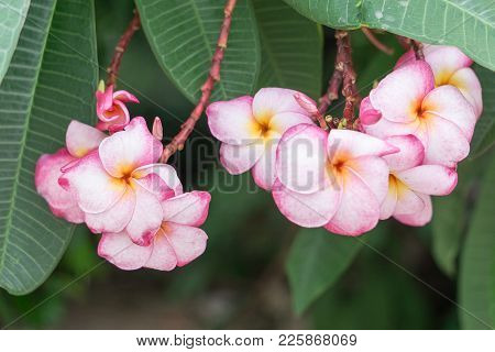 Pink Flower In The Garden., Selective Focus On Flowers On Tree., Plumeria With Nature Background In
