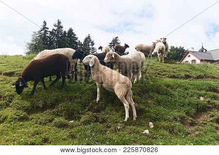 Sheep Of Different Breeds Including Long Eared Bergamasca Graze On A Fresh Green Swiss Pasture